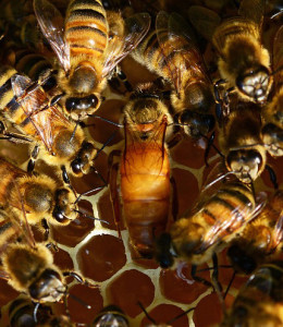 BeeWell Honey bees for sale