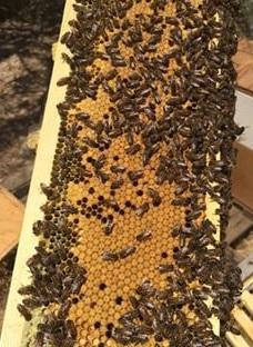 nuc bees